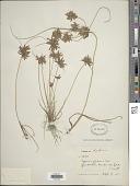view Cyperus flavidus Retz. digital asset number 1