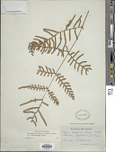 view Pteridium aquilinum var. yarrabense Domin digital asset number 1
