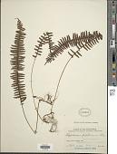 view Thylacopteris papillosa (Blume) Kunze ex J. Sm. digital asset number 1