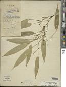 view Indosasa shibataeoides digital asset number 1