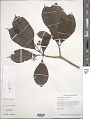 view Neea mollis Spruce ex J.A. Schmidt digital asset number 1