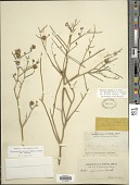view Chloracantha spinosa var. spinosa (Benth.) G.L. Nesom digital asset number 1