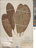 view Ficus obtusifolia Kunth digital asset number 1
