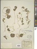 view Hydrocotyle leucocephala Cham. & Schltdl. digital asset number 1