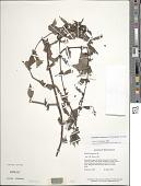 view Diodella sarmentosa (Sw.) Bacigalupo & E.L. Cabral ex Borhidi digital asset number 1