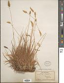view Anthoxanthum odoratum L. digital asset number 1
