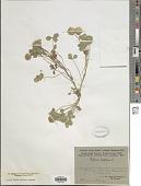 view Trifolium fragiferum L. digital asset number 1