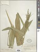 view Scleria macrophylla J. Presl & C. Presl digital asset number 1