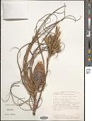view Tillandsia balbisiana Schult. f. digital asset number 1