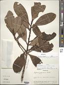 view Myrsine guianensis (Aubl.) Kuntze digital asset number 1