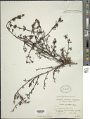 view Comolia angustifolia Gleason digital asset number 1