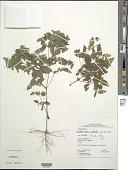 view Eleutheranthera ruderalis (Sw.) Sch. Bip. digital asset number 1