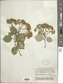 view Olearia arborescens digital asset number 1