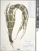 view Carex intumescens Rudge digital asset number 1