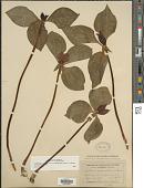 view Trillium recurvatum L.C. Beck digital asset number 1