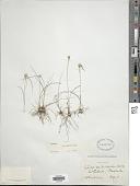 view Cyperus seslerioides Kunth digital asset number 1