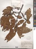 view Quercus laurina Humb. & Bonpl. digital asset number 1