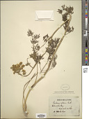 view Peucedanum austriacum (Jacq.) W.D.J. Koch digital asset number 1
