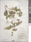 view Clematis ligusticifolia Nutt. digital asset number 1