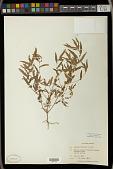 view Acalypha gracilens A. Gray digital asset number 1