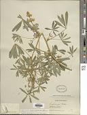 view Lupinus neomexicanus Greene digital asset number 1