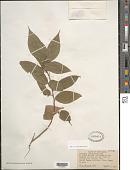 view Acalypha vincentina Urb. digital asset number 1