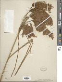view Scirpus cyperinus var. eriophorum (Michx.) Kuntze digital asset number 1