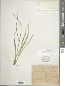 view Carex sellowiana Schltdl. digital asset number 1