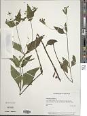 view Sigesbeckia orientalis L. digital asset number 1