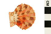 view Yellow Ray Scallop digital asset number 1