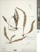 view Alansmia xanthotrichia (Klotzsch) Moguel & M. Kessler digital asset number 1
