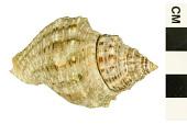 view Florida Rocksnail, Two-row Rock-shell, Rock-shell, Two-row Rock-shell digital asset number 1
