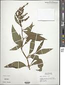 view Rumex altissimus Alph. Wood digital asset number 1