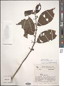 view Siparuna gesnerioides (H.B.K.) A. DC. digital asset number 1