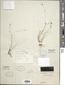 view Rhynchospora filifolia A. Gray digital asset number 1