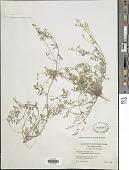 view Astragalus nuttallianus DC. digital asset number 1