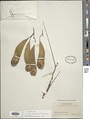view Platypodium sp. digital asset number 1