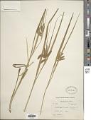 view Carex pseudocyperus L. digital asset number 1