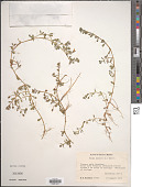 view Bacopa monnieri (L.) Pennell digital asset number 1