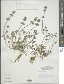 view Lamium amplexicaule L. digital asset number 1