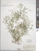 view Cardamine parviflora var. arenicola digital asset number 1