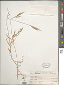 view Brachypodium distachyon (L.) P. Beauv. digital asset number 1