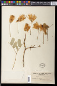view Acacia lebbeck Willd. digital asset number 1