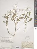 view Cardamine pensylvanica Muhl. ex Willd. digital asset number 1