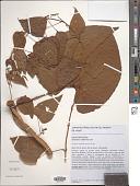 view Dioscorea altissima Lam. digital asset number 1