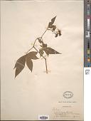 view Rubus sp. digital asset number 1