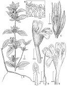 view Dyschoriste ceciliae Wassh. & J.R.I. Wood digital asset number 1