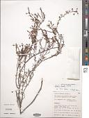 view Hibbertia lineata Steud. digital asset number 1