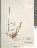view Polypogon fugax Nees ex Steud. digital asset number 1