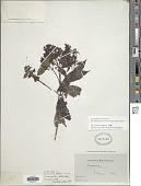 view Dioicodendron dioicum (K. Schum. & Krause) Steyerm. digital asset number 1